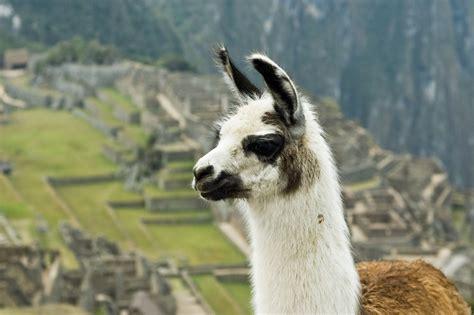 imagenes animal llama file llama on machu picchu jpg wikimedia commons