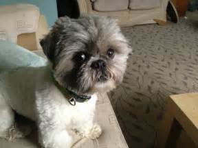 haircuts for shih tzus males pedigree 2 year old male shih tzu dudley west midlands