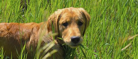 can dogs eat grass why do dogs and cats eat grass vetdepot
