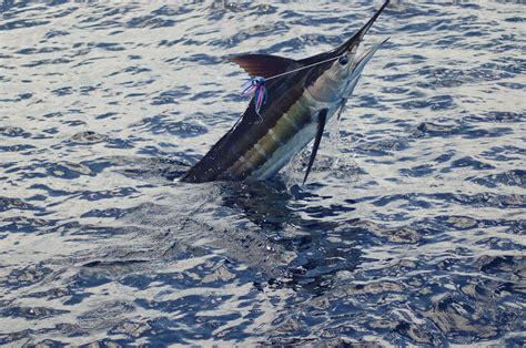 wallpaper blue marlin 2012 billfisheries of the year 5 punta cana dominican