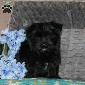 yorkie poo for sale in nj yorkie poo puppies for sale in de md ny nj philly dc and baltimore