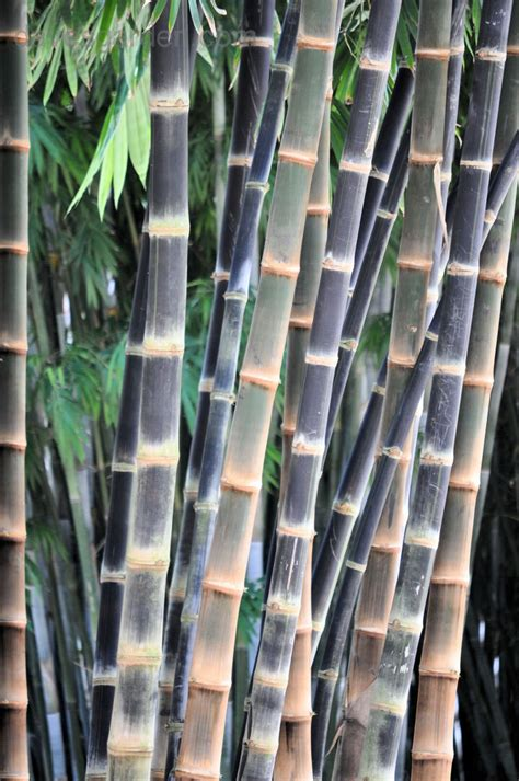 Hitam Mamboo plantfiles pictures bamboo betung hitam dendrocalamus