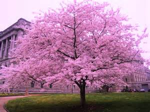 cherry blossom trees dreams meaning interpretation and