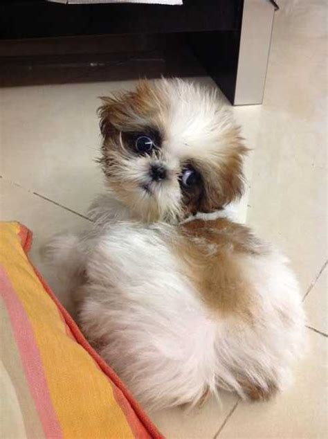 shih tzu for adoption dogs for adoption johor bahru breeds picture
