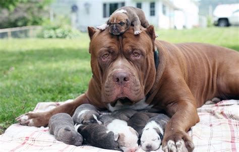 how many puppies do dogs how many puppies can a pitbull