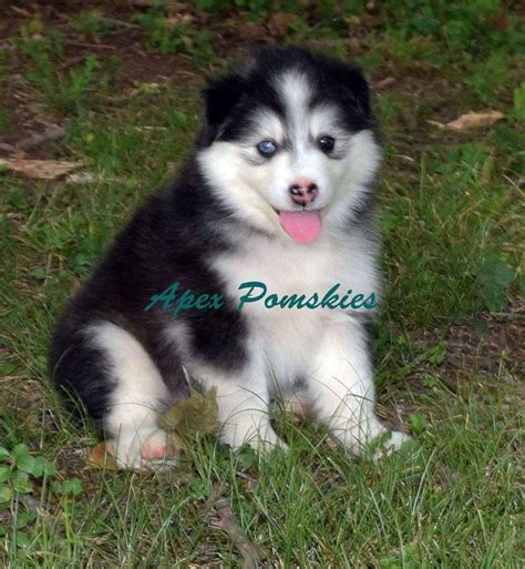 cheap pomsky puppies for sale pomsky puppies for sale september 2016 pomsky pals