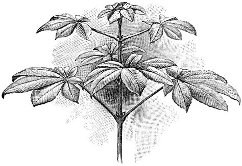 buckeye leaf coloring page free coloring pages of buckeye leaf