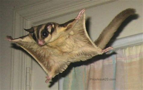 animali volanti flying squirrel animal wildlife