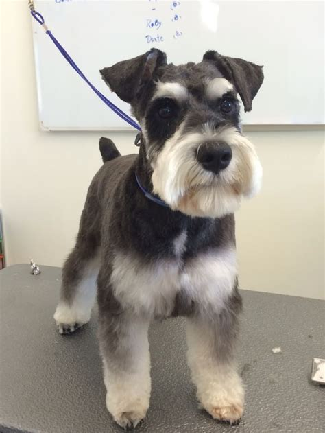 mini schnauzer haircut styles image result for miniature schnauzer grooming cuts dogs