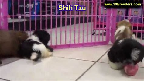 shih tzu puppies for sale in new mexico shih tzu puppies dogs for sale in las cruces county new mexico nm 19breeders