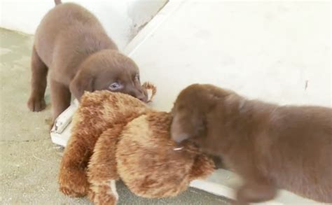 chocolate lab puppies craigslist chocolate lab puppy pic