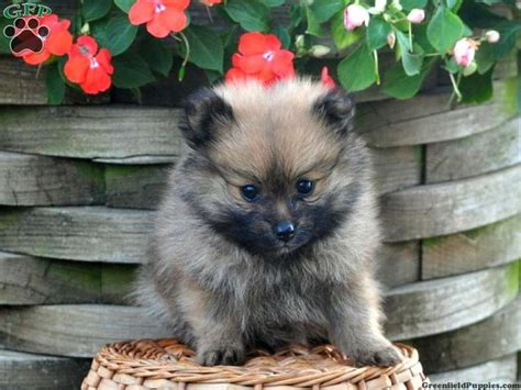 teacup pomeranian puppies for sale in pa 141 best images about teacup pomeranian puppies for sale on