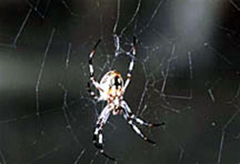 Garden Spider Washington State Garden Spider Ipmopedia