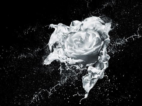 splash rose garden
