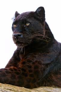 Jaguar Cat 17 Best Ideas About Black Panther Cat On Black