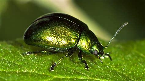 imagenes de insectos verdes escarabajo verde todo lo que necesitas saber sobre esta
