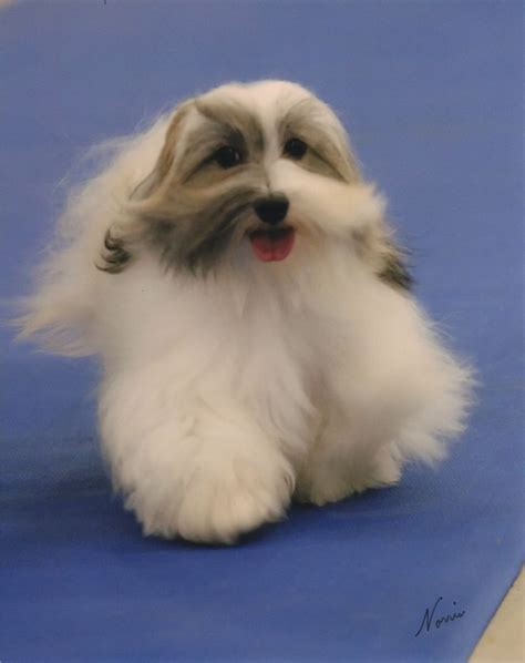 havanese breeders mn 18 best images about happy havanese on
