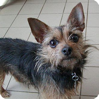chihuahua yorkie terrier mix yorkie chihuahua mix temperament breeds picture