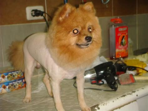 pomeranian with hair pictures of haircut styles for pomeranian dogs breeds picture