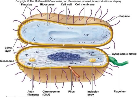 bacterial cell diagram labeled bacterial cell diagrams diagram site