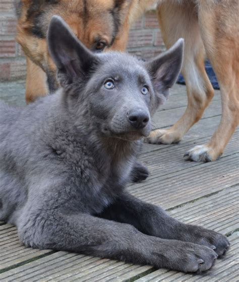 blue german shepherd blue german shepherd for sale with cost and breeders