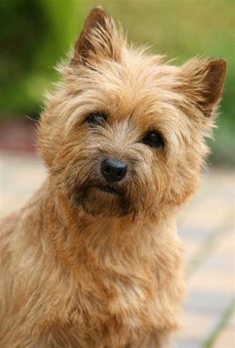 are yorkies for allergy sufferers the 25 best hypoallergenic breed ideas on small hypoallergenic dogs