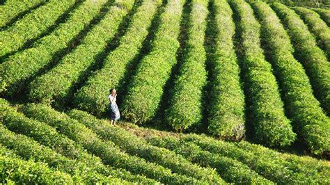 Teh Hijau Di Indonesia sejuknya suasana hijau perkebunan teh quot malino highlands quot indonesiakaya eksplorasi budaya