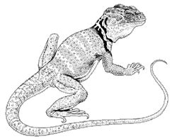 collared lizard coloring page common collared lizard crotaphytus collaris
