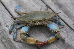 boat n net calories blue crabs are they healthy boxhill crabcakes