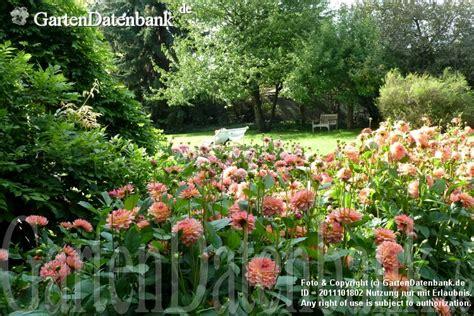 Dahlienfeuer Im Britzer Garten by Dahlien Im Britzer Garten Dahlienshow Dahlienfeuer