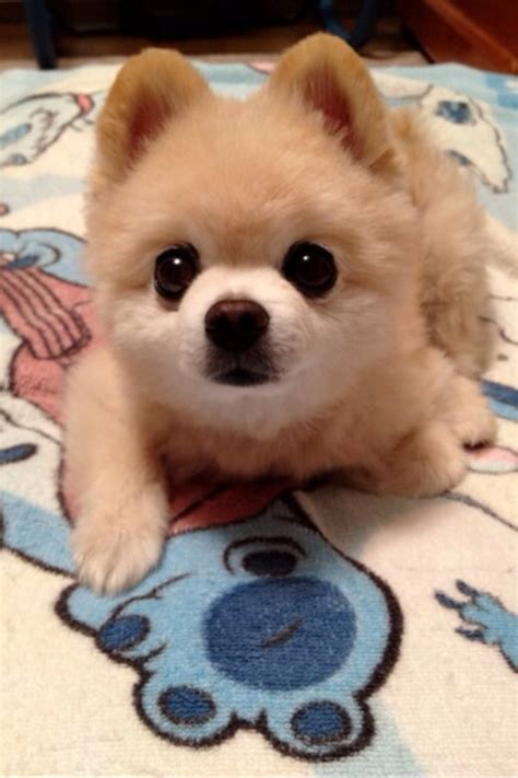 adorable pomeranian pomeranian daily picks and flicks