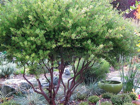 gardening in the pacific northwest the complete homeowner s guide books pacific horticulture society arctostaphylos for pacific