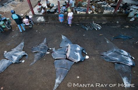 Teh Madu manta rays endangered by sudden demand from