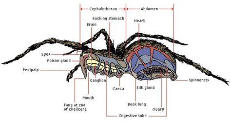 diagram of a black widow spider black widow spider respiration