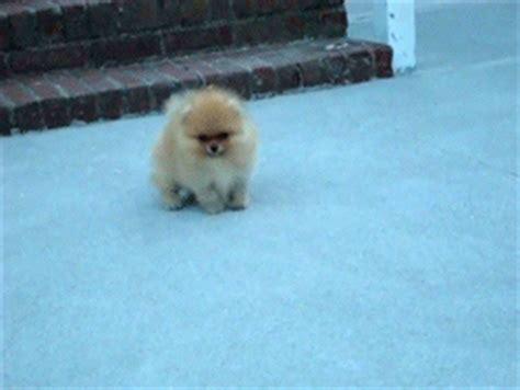 pomeranian gif gif baby omg puppy animal pomeranian it s so fluffy i m gonna die jaana