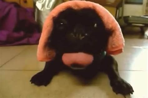 pug sounds pug panting sounds just like a car engine turning daily