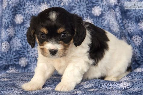 cavachon puppies iowa pin cavachon puppies for sale in iowa with on