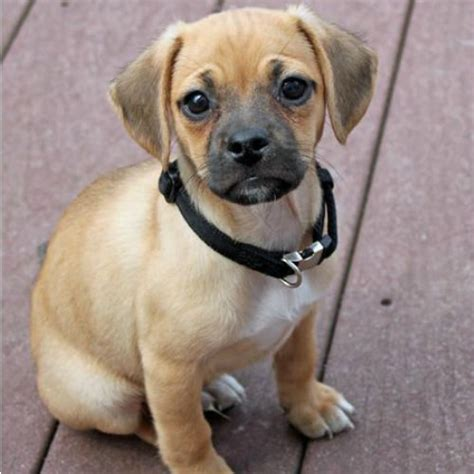 puggle beagle pug adorable pug cross breeds ambie