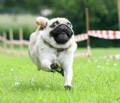 can pugs run 1000 images about sporty pug on pug the pug and pug dogs
