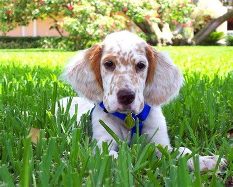 english setter dog pictures sporting puppies pictures