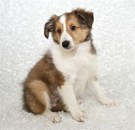 what do puppies look like what does a beagle sheltie look like breeds picture
