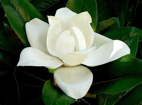 magnolia fiore significato i like it il linguaggio dei fiori