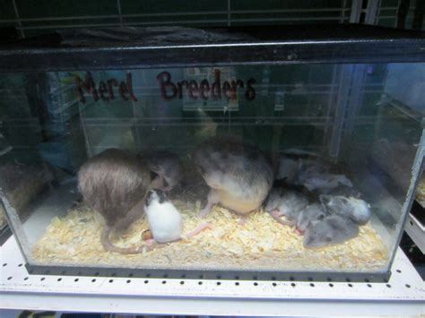 bedding for rats caring for pet rats lauren s vet med blog