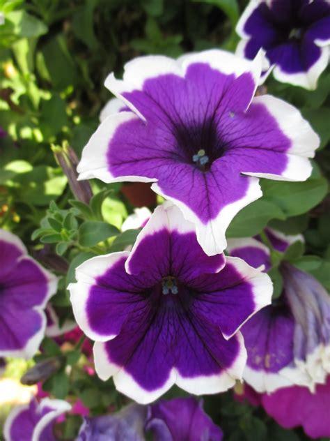 rotary botanical gardens hort plant petunias