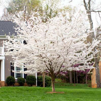 yoshino cherry tree prunus x yedoenis for sale brighter blooms nursery
