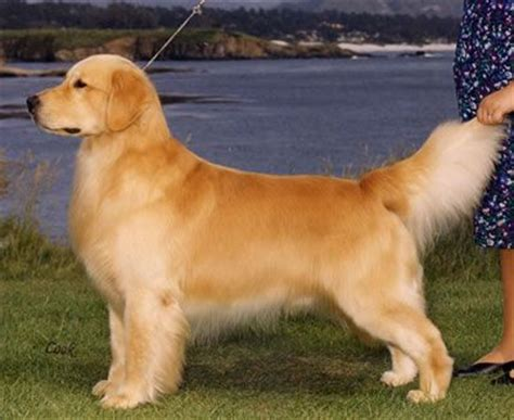 golden retriever standards 246 best images about breeds a h on caucasian shepherd