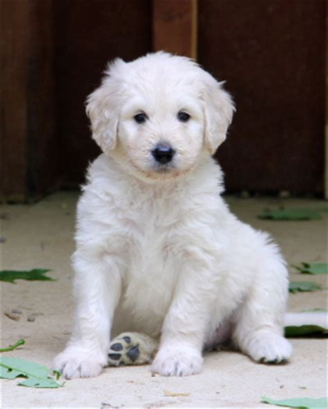 teddy goldendoodle puppies doodle puppies www pixshark images galleries with a bite