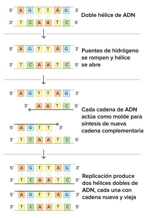 cuantas cadenas de adn tiene el humano mecanismos moleculares de la replicaci 243 n del adn art 237 culo