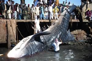 big un requin baleine le plus grand poisson du monde