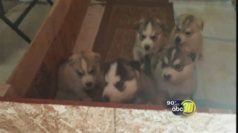 craigslist fresno puppies 5 husky puppies stolen from madera county after craigslist ad fresno news